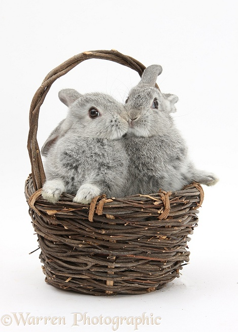 Silver baby rabbits kissing in a wicker basket, white background