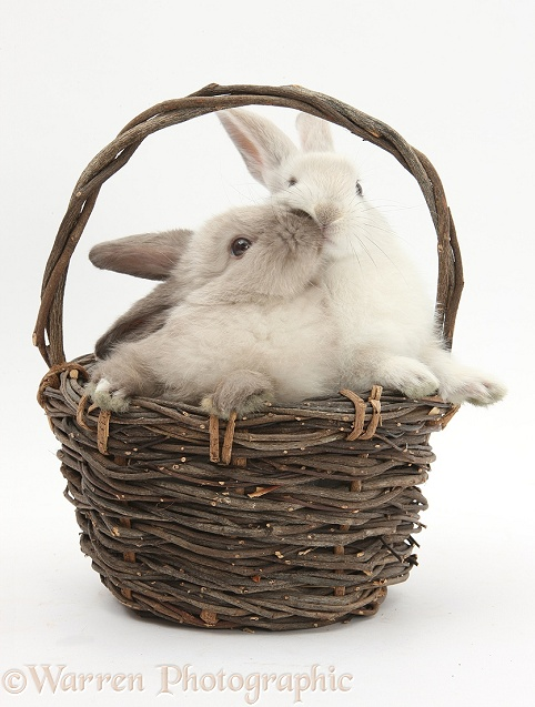 Baby rabbits kissing in a wicker basket, white background