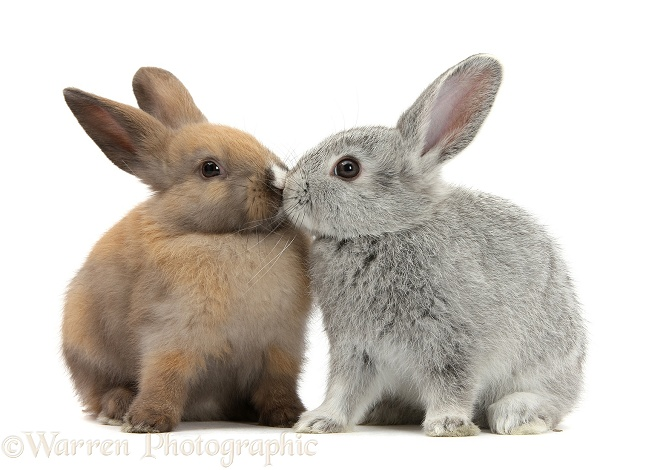 Baby rabbits kissing, white background