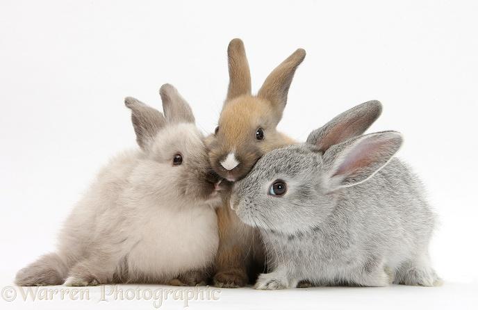 Three Baby Rabbits Photo Wp26329