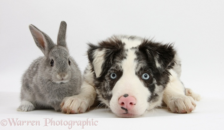Blue merle Border Collie puppy, Reef, and silver baby rabbit, white background