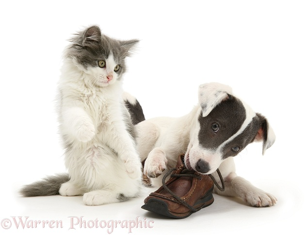 Blue-and-white Jack Russell Terrier pup, Scamp, chewing a child's shoe while playful blue-and-white kitten tries to join in, white background