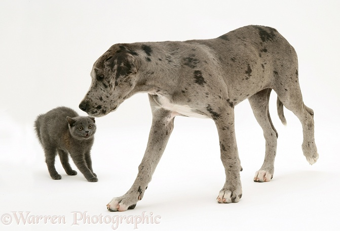 Great Dane pup and frightened grey kitten