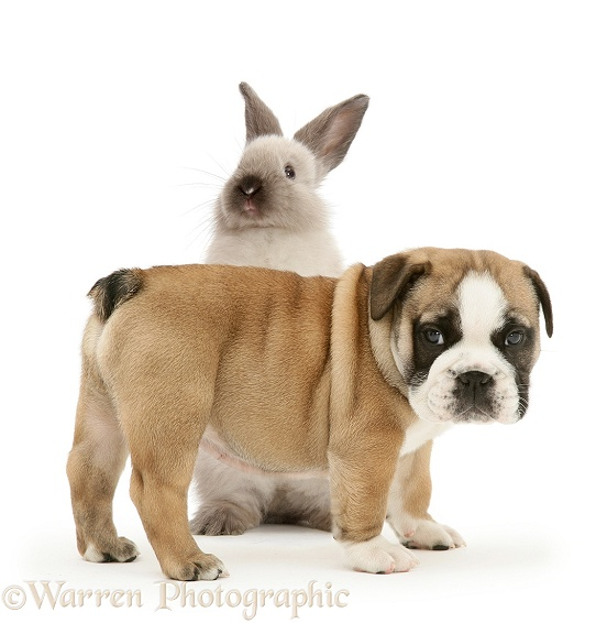 Bulldog pup and colourpoint rabbit, white background