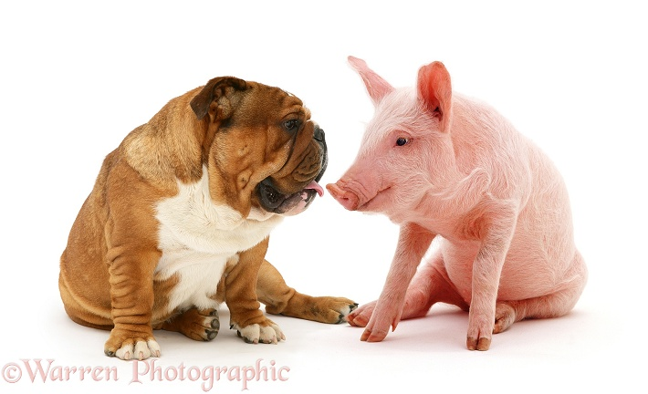 Bulldog and middle white piglet, white background