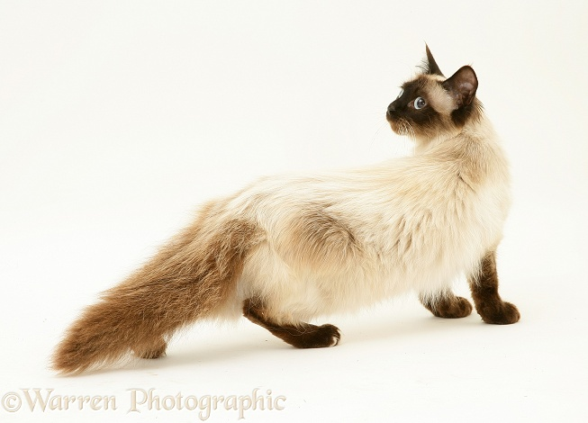 Seal-point Birman-cross cat, anxiously creeping, white background