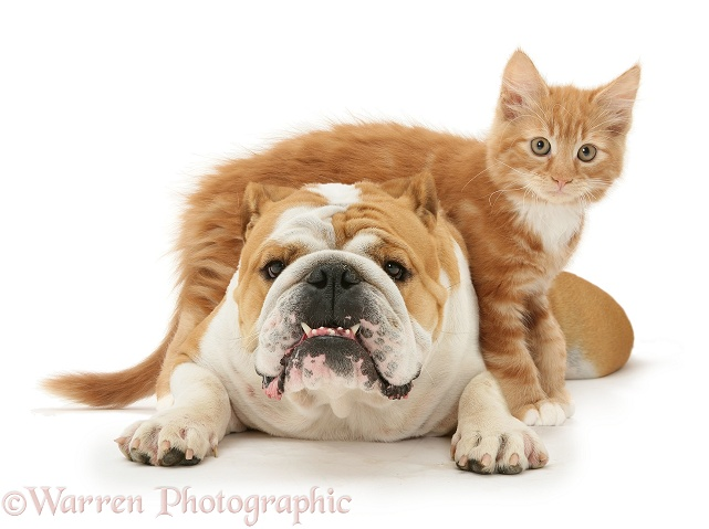 Bulldog and ginger kitten, Butch, 3 months old, white background