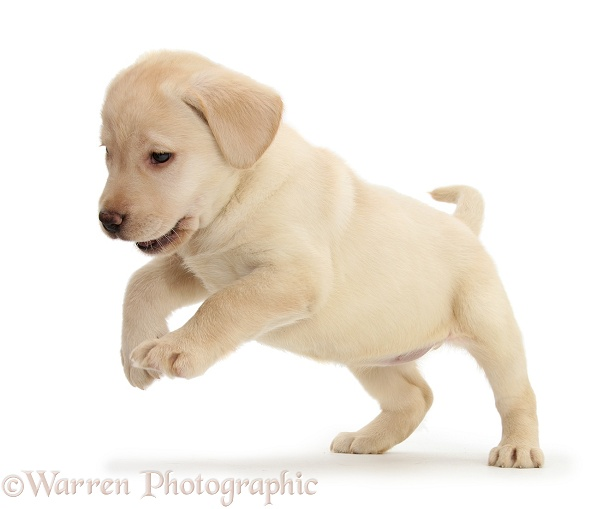 Playful Yellow Labrador pup, 7 weeks old, white background
