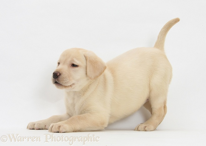 Yellow Labrador pup, 7 weeks old, in play-bow, white background