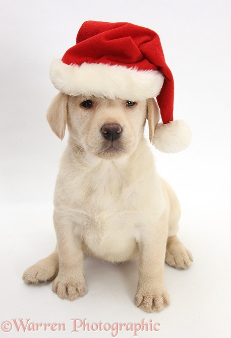 Yellow Labrador Retriever pup, 7 weeks old, wearing a Father Christmas hat, white background