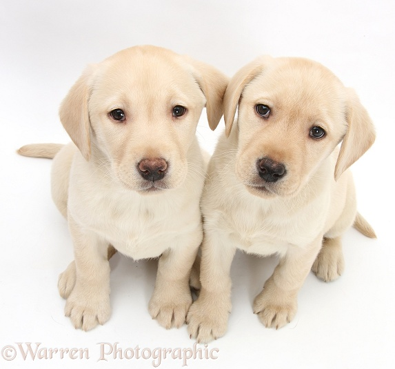 Yellow Labrador Retriever puppies, 8 weeks old, white background