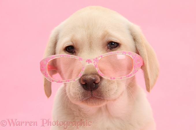 Yellow Labrador Retriever pup, 10 weeks old, wearing a child's pair of rose tinted sunglasses