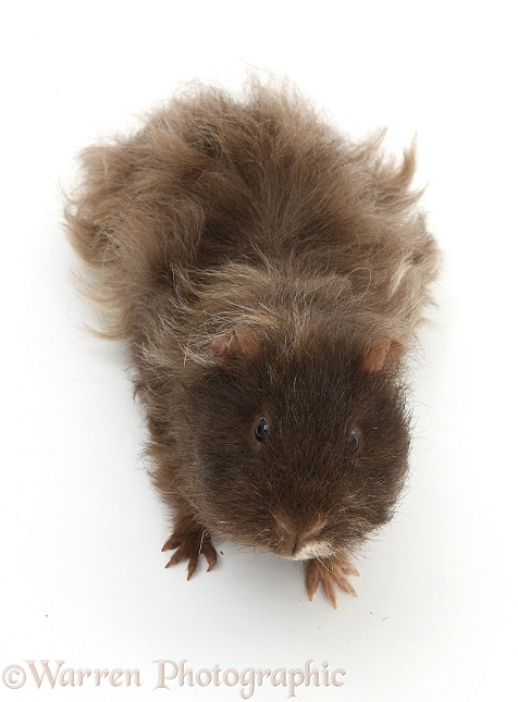 Shaggy bad-hair-day Guinea pig, white background
