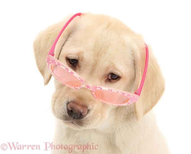Yellow Labrador Retriever pup, 10 weeks old, wearing a child's pair of rose tinted sunglasses, and looking condescending, white background