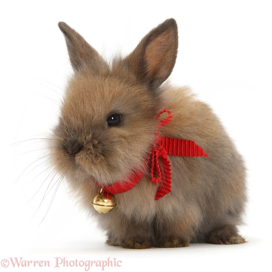 Baby Lionhead-cross rabbit wearing a bell, white background