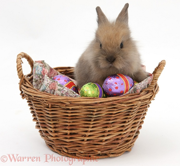 Two baby Lionhead-cross rabbit in a wicker basket with easter eggs, white background