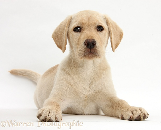Yellow Labrador Retriever puppy, 10 weeks old, white background