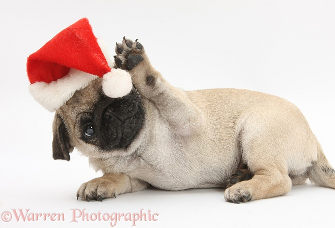 Fawn Pug pup, 8 weeks old, wearing a Father Christmas hat, white background