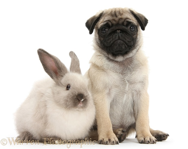 Fawn Pug pup, 8 weeks old, and sooty colourpoint rabbit, white background