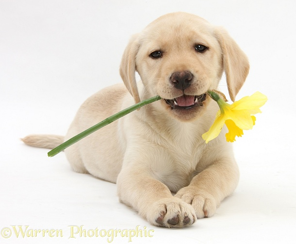Yellow Labrador Retriever bitch pup, 10 weeks old, lying with a yellow daffodil, white background