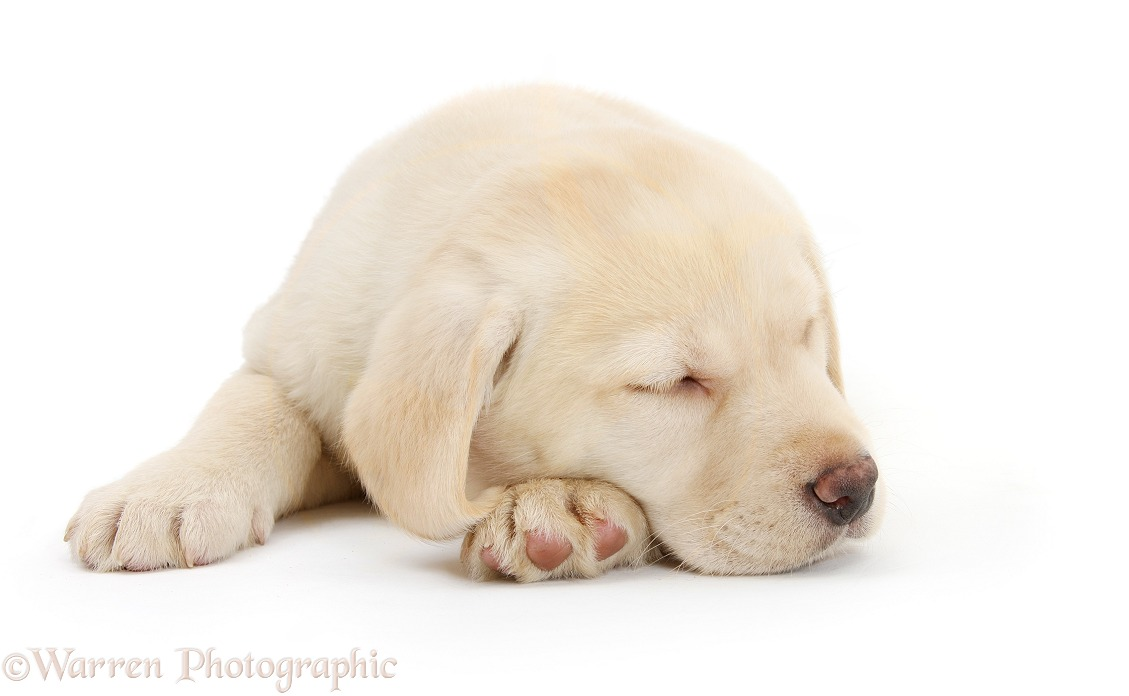 Dog: Sleeping Yellow Labrador Retriever pup, 8 weeks old photo ...: www.warrenphotographic.co.uk/26611-sleeping-yellow-labrador...