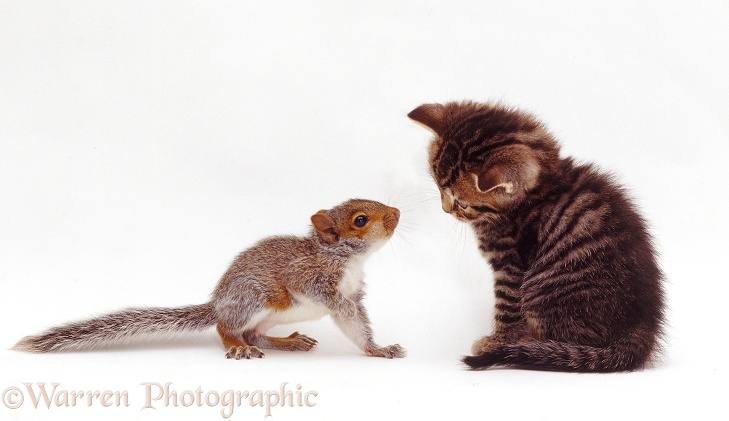 Tabby kitten interacting with baby Grey Squirrel, white background