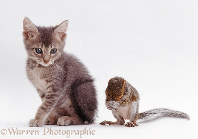 Grey kitten interacting with baby Grey Squirrel, white background