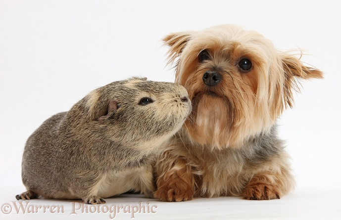 Yorkshire Terrier, Buffy, and Guinea pig, white background