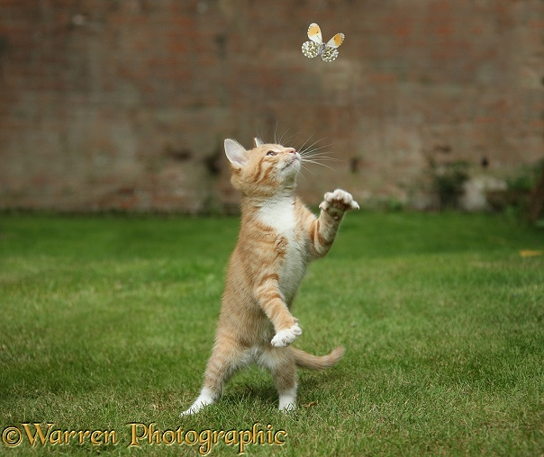 Ginger kitten, Tom, 3 months old, swiping at a passing Orange-tip Butterfly (Anthocharis cardamines)