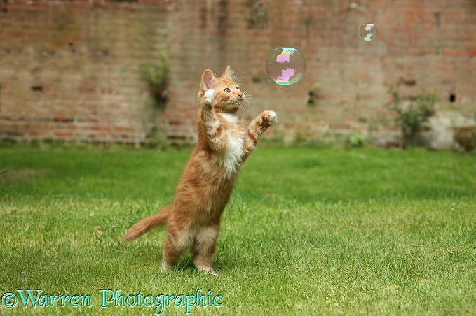 Ginger kitten, Butch, 3 months old, swiping at a soap bubble
