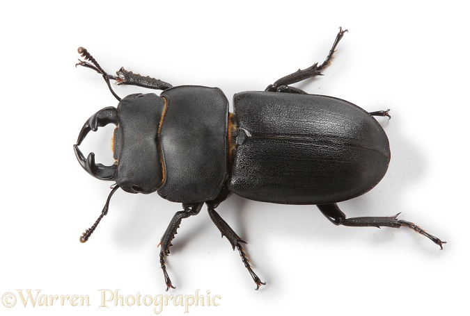 Lesser Stag Beetle (Dorcus parallelipipedus), white background