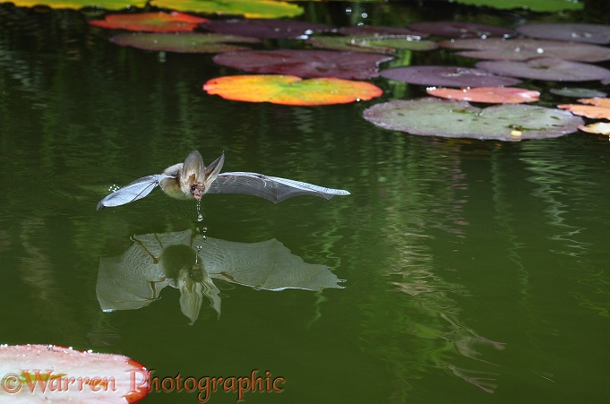 Long-eared Bat (Plecotus auritus) drinking from the surface of a pond