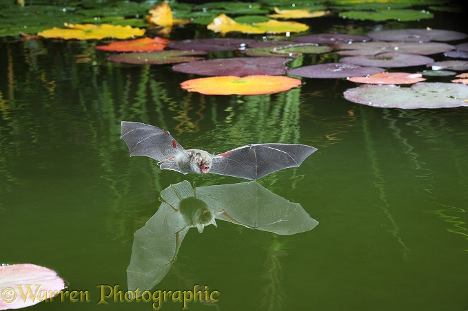 Natterer's Bat (Myotis nattereri) flying in to drink from the surface of a pond