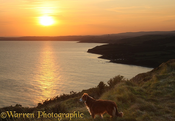Sable Border Collie, Lollipop, on a cliff top at sunset