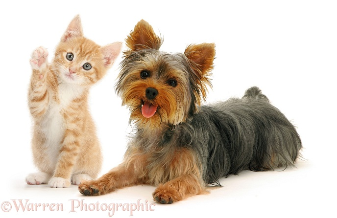 Yorkshire Terrier and British Shorthair red tabby kitten, white background