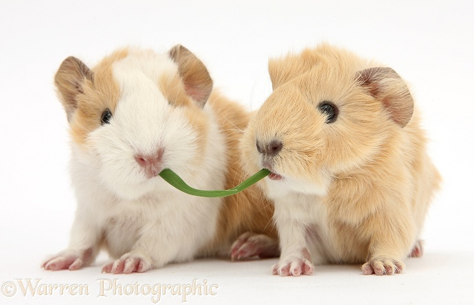 1 day old baby Guinea pigs eating grass, white background