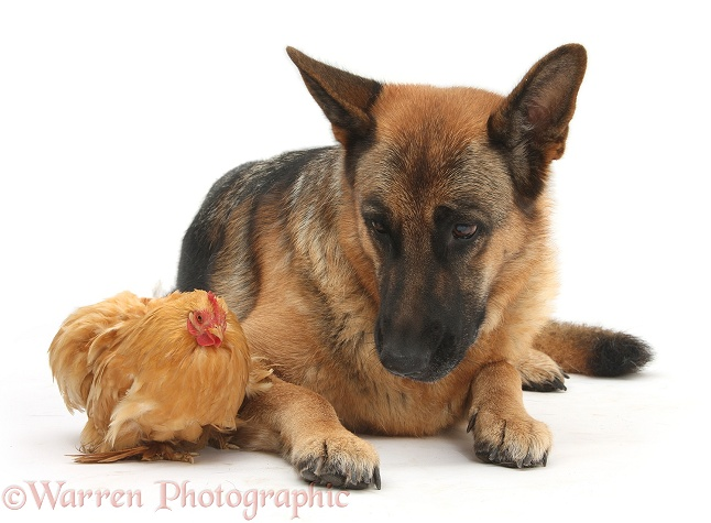 German Shepherd Dog, Buster and chicken, white background