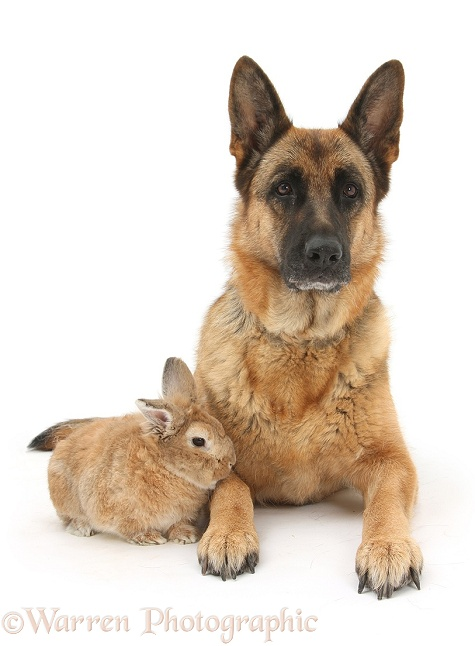 German Shepherd Dog, Zulu, and Sandy rabbit, white background