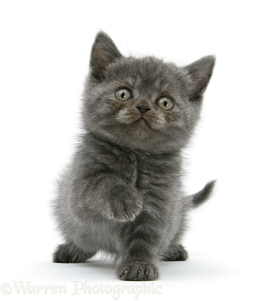 Grey kitten sitting with raised paw, white background
