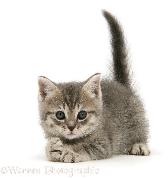 Grey tabby British Shorthair kitten, white background