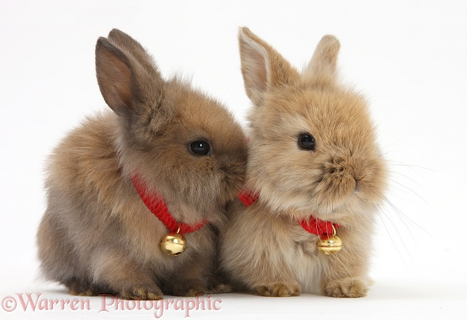 Two baby Lionhead-cross bunnies wearing bells, white background