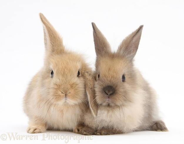 Two baby Lionhead-cross rabbits, white background