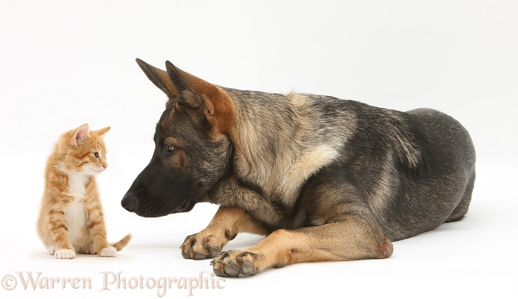German Shepherd Dog, Buster, with a ginger kitten, white background