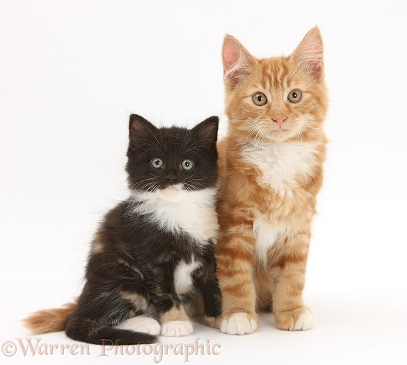 Ginger kitten, Butch, 3 months old, with younger black-and-white kitten, white background