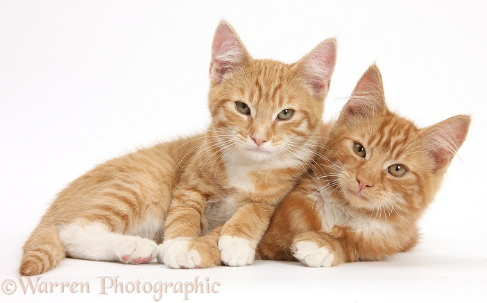 Two ginger kittens, Tom and Butch, 3 months old, lounging together, white background