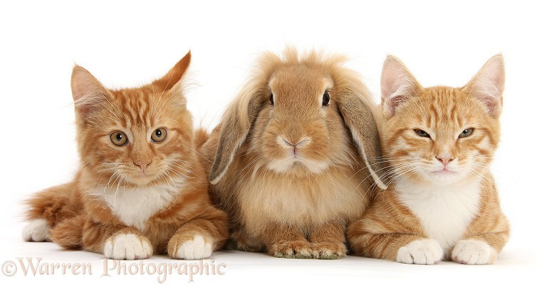 Ginger kittens, Tom and Butch, 3 months old, with Sandy Lionhead-Lop rabbit, white background