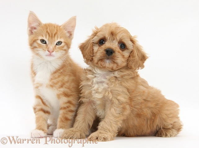 Ginger kitten, Tom, 9 weeks old, and Cavapoo pup, white background