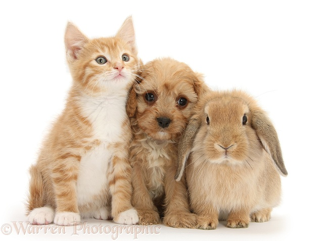 Ginger kitten, Tom, 9 weeks old, with Cavapoo pup and Sandy Lop rabbit, white background