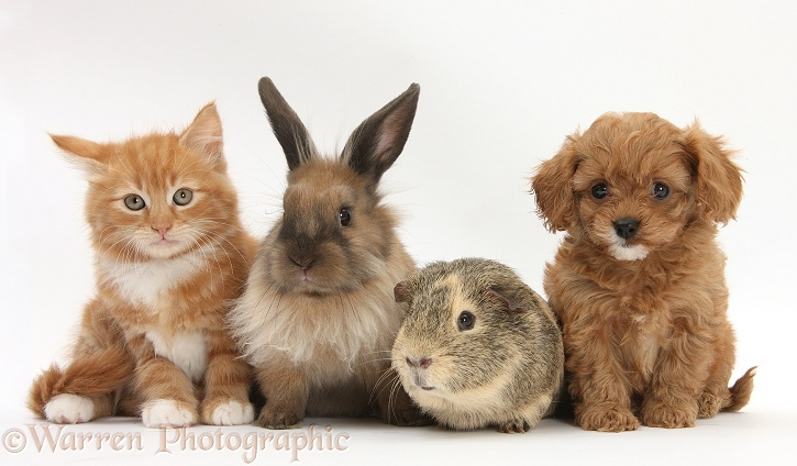 Ginger kitten, Butch, 9 weeks old, with Cavapoo pup, Lionhead rabbit, and Guinea pig, white background