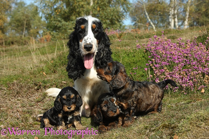 Cocker Spaniel bitch, Mouse, and her Cockapoo pups